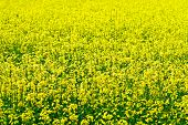 Rapeseed field seed for bio-diesel production