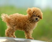 close shoot small brown toy poodle with green background