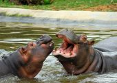 picture of sub-saharan  - Sparring Hippos - JPG