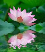 beautiful lotus with water reflection.