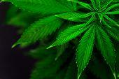 Grow Legal Recreational Marijuana. Marijuana Business. Home Cannabis Grow Operation. Planting Cannab poster