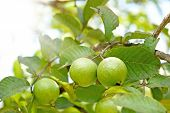 Bunch Of Guava Fruits In A Tree With Sunshine On Top Left Corner poster