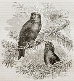 pic of crossbill  - Old illustration of Parrot Crossbill  - JPG