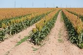 stock photo of sorghum  - A healthy field of of grain sorghum or milo crop in the plains of West Texas - JPG