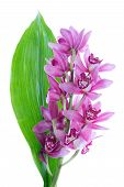 Purple Cymbidium With Green Leave, Isolated On White