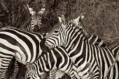 Wild Zebra B&W