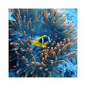 Clownfish / Anemonefish