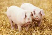 foto of animal husbandry  - Two young piglet on hay and straw at pig breeding farm - JPG