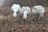 Three Feeding Snow Geese