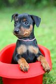 foto of miniature pinscher  - The Miniature Pinscher puppy 1 - JPG