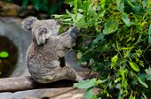 stock photo of eucalyptus leaves  - Koala eating eucalyptus leaves at the koala center - JPG