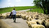 stock photo of mustering  - Traditional farming - shepherd with his sheep herd