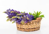 Beautiful Lupine Bouquet In Basket