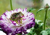 bloom violet flower buttercup