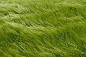 Wheat-land