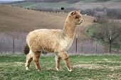 stock photo of alpaca  - Alpacas are grown for their wool - JPG
