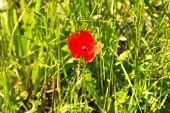 Beautiful Red Corn Poppy On Field