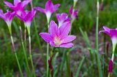 Beautiful purple rain lily flower