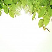 Hornbeam leaves with sunshine, isolated on white background