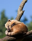 picture of coatimundi  - South American coati or ring - JPG