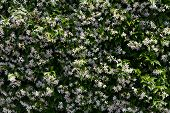 white flowering jasmine background, a parfumed area