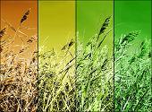 Multicolor Stalks Of Wheat