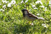House Sparrow On Grass With Daisies
