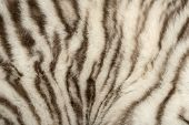 stock photo of tiger cub  - Macro of a White tiger fur - JPG