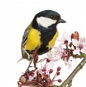 stock photo of great tit  - Close - JPG