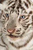 stock photo of white tiger cub  - Close - JPG
