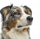 Close-up of a Australian Shepherd,1,5 year old, isolated on white