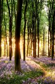foto of blue-bell  - Bluebell sunrise in long tree shadows portrait view - JPG