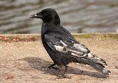 Leucistic Carrion Crow