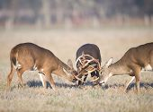 Bucks de Whitetail tres combates