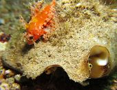 Scorpionfish and mollusk