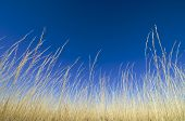 pic of clary  - Yellow grass and blue sky - JPG