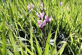 Blooming Wild Cyclamen