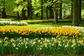 image of yellow buds  - grass lawn with yellow daffodils  in dutch garden  - JPG