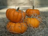 Small Sugar Pumpkins And Old Straw.