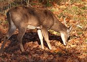 picture of deer rack  - male white - JPG