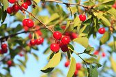 foto of cherry-picker  - Cherry fruits on branch close up in orchard - JPG