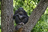 Chimpanzee In The Tree