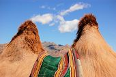 Humps of Bactrian camel near Gobi desert, Mongolia