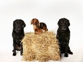 foto of long hair dachshund  - Two black labradors and a long haired dachshund - JPG