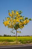 stock photo of cassia  - yellow cassia flower tree blooming in summer on drought - JPG