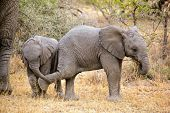 Playful baby African elephants (Loxodonta africana), South Africa
