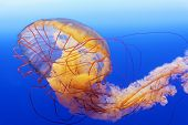 spectacular jellyfish in blue sea