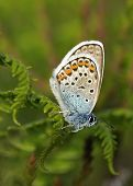 picture of stud  - Silver-studded Blue Butterfly - Plebejus argus