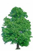 picture of linden-tree  - old linden tree with green leaves isolate green flora - JPG