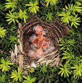 Chicks Hatchling Nest